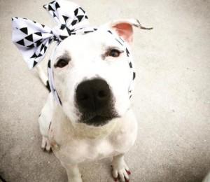 cadela-que-sofreu-maus-tratos-ganha-lacos-de-pessoas-do-mundo-todo-para-cobrir-feridas-na-cabeca-pdd5-500x434