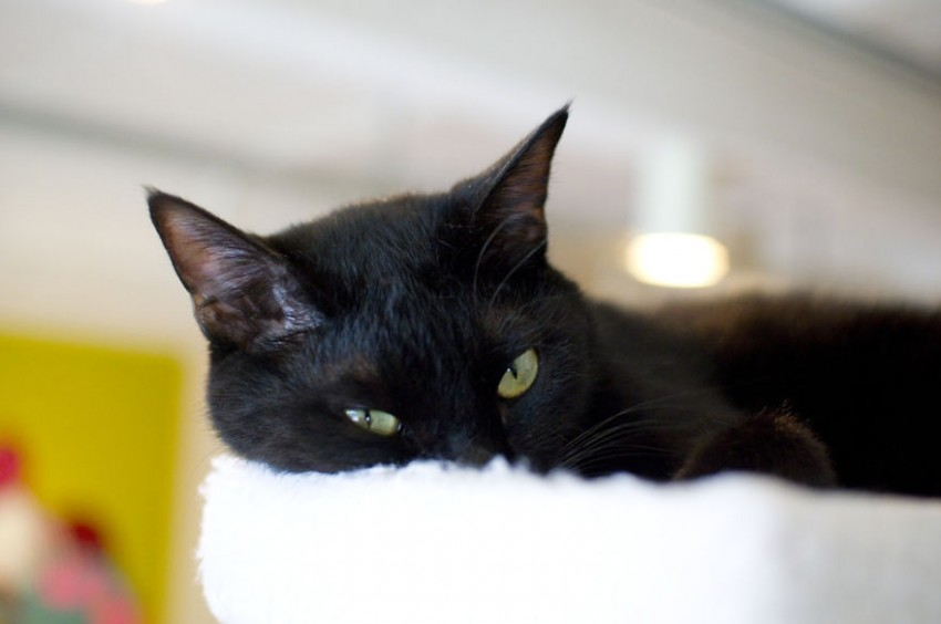 A-visit-to-the-worlds-only-black-cat-cafe1__880
