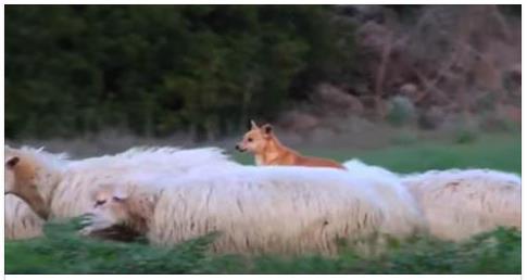 Cão guarda as ovelhas de modo inusitado – e faz a internet rir