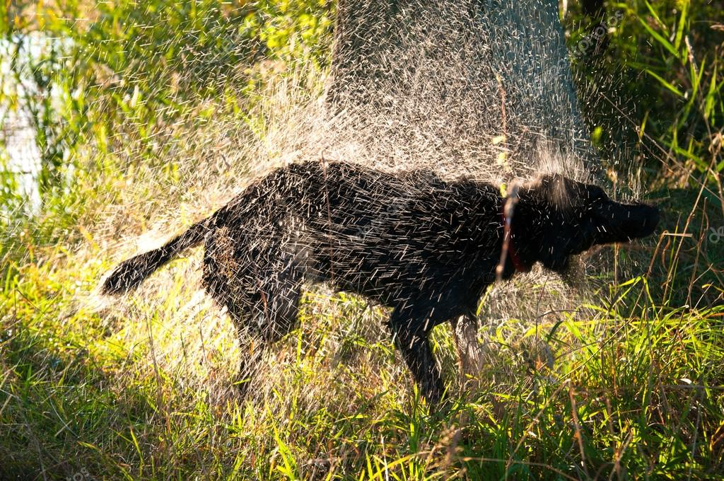 depositphotos_123266502-stock-photo-black-dog-shaking-off-water