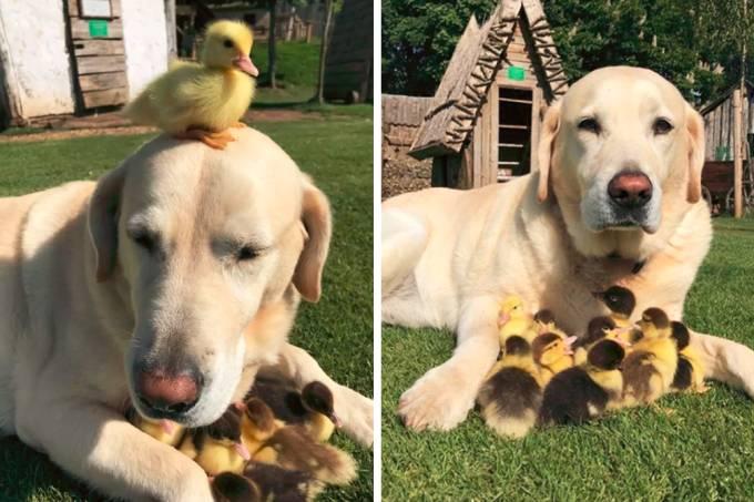Este cãozinho adotou nove filhotes órfãos de patinhos