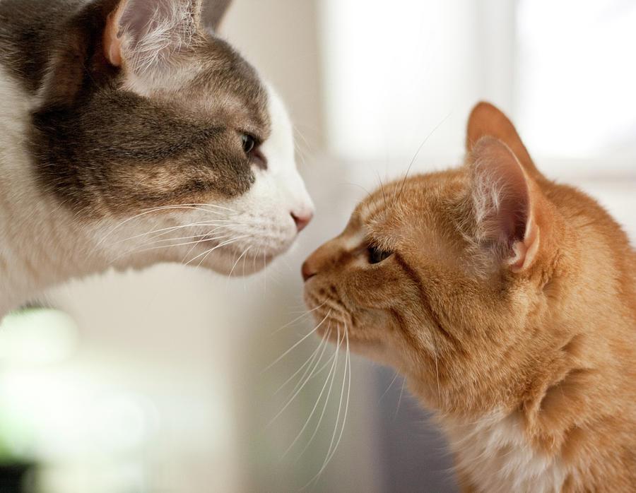 two-cats-almost-kissing-caro-sheridan--splityarn