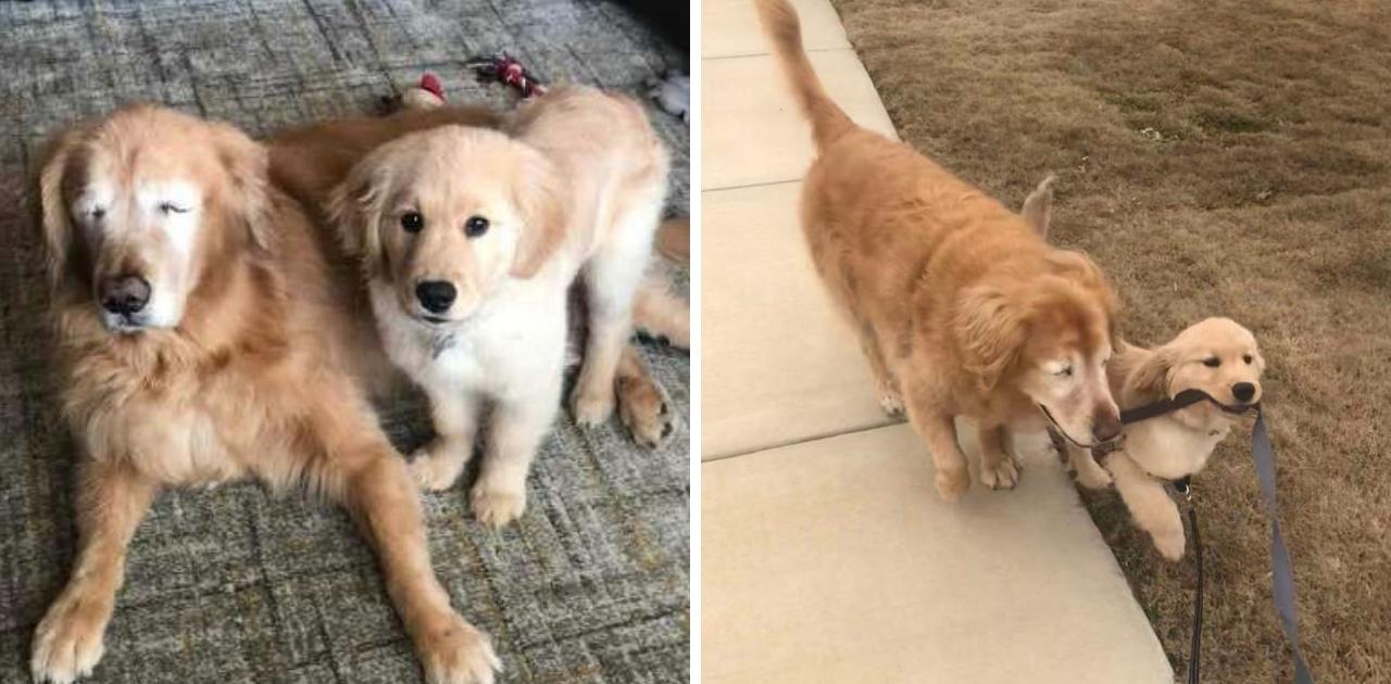 """Cãozinho cego faz amizade com filhote que vira seu """"cão-guia"""""""