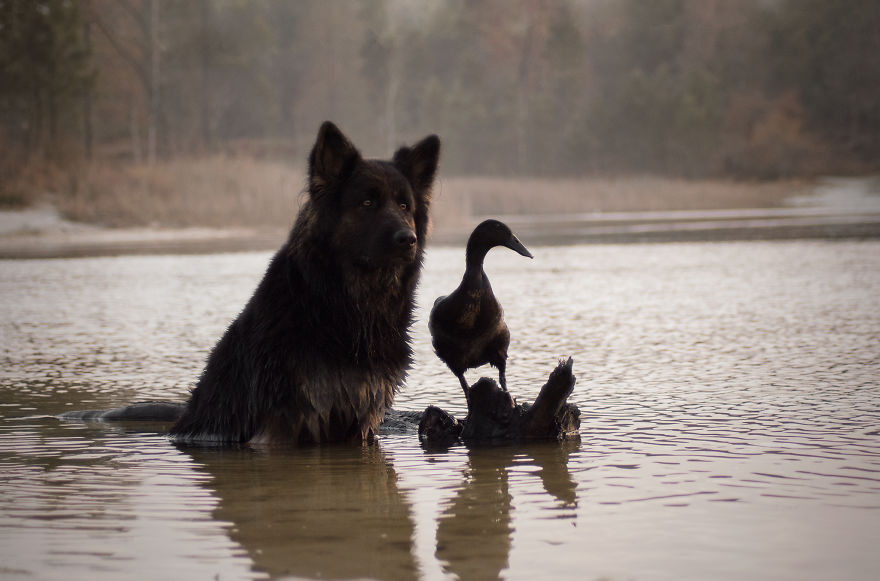 amizade-cachorro-pato14