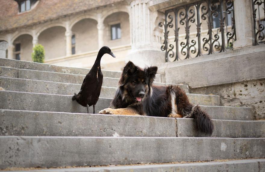 amizade-cachorro-pato15