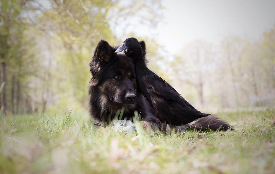 amizade-cachorro-pato18