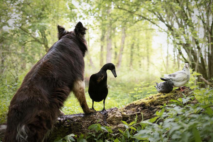 amizade-cachorro-pato19