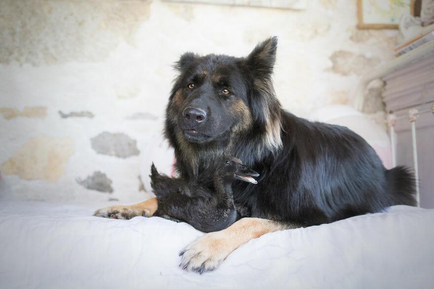 amizade-cachorro-pato3