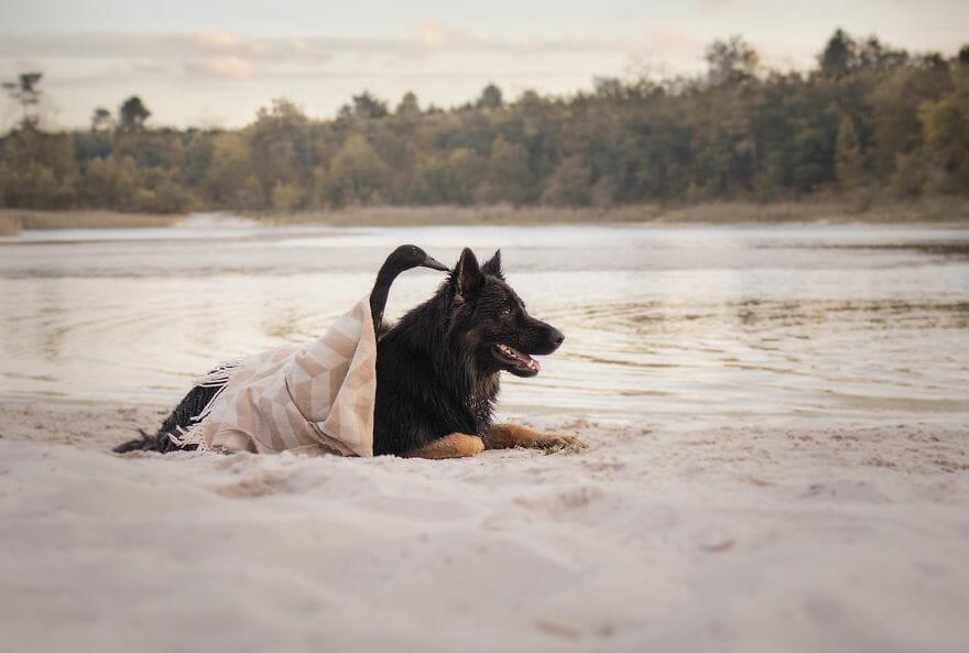 amizade-cachorro-pato5