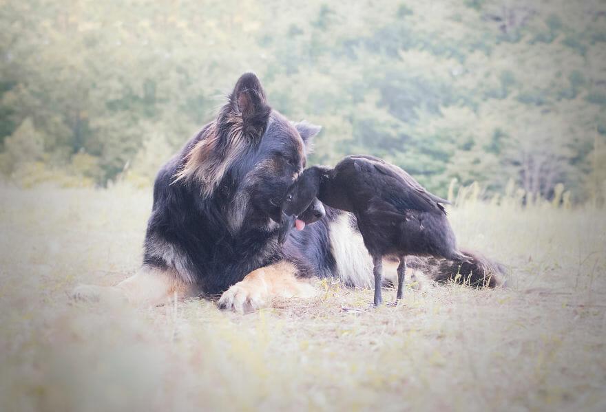 amizade-cachorro-pato6