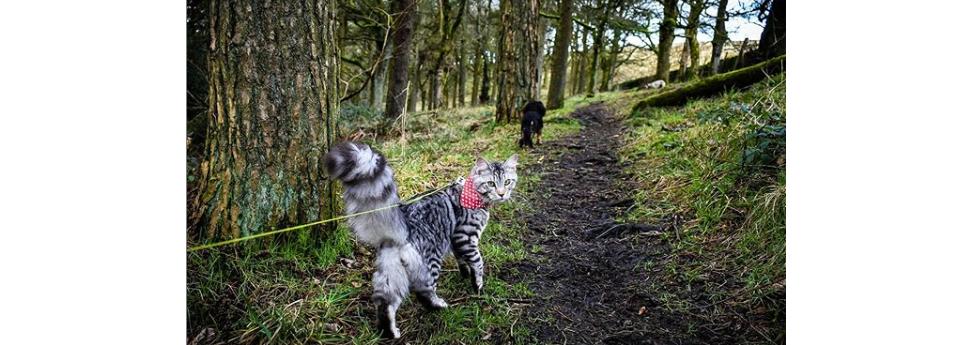 Conheça o gatinho que adora caminhar na rua ao lado dos irmãos caninos