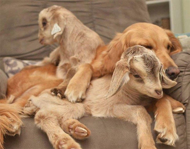 dog-mothers-baby-goats-golden-retriever-loryn-58ca8fa502210__605