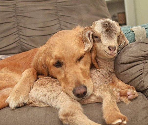 dog-mothers-baby-goats-golden-retriever-loryn-58ca8fa95bee0__605