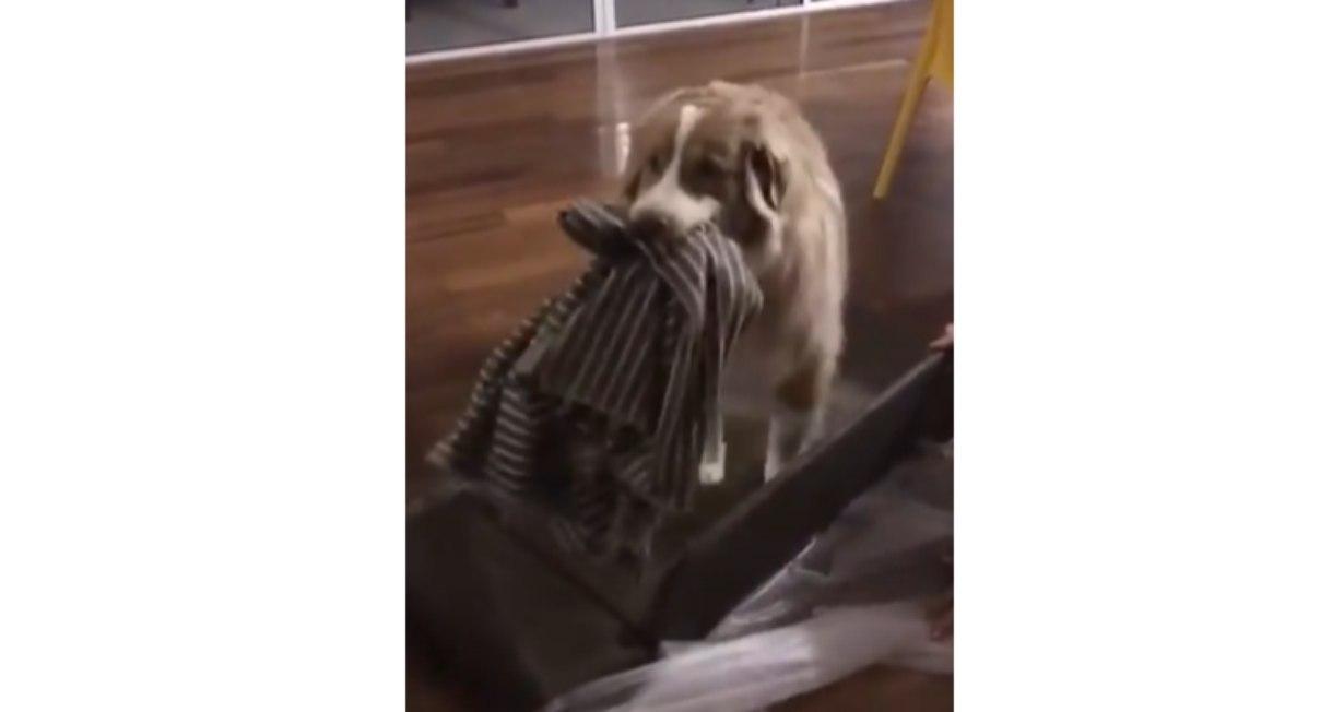 Cãozinho ganha caminha e não consegue esconder felicidade; Confira vídeo