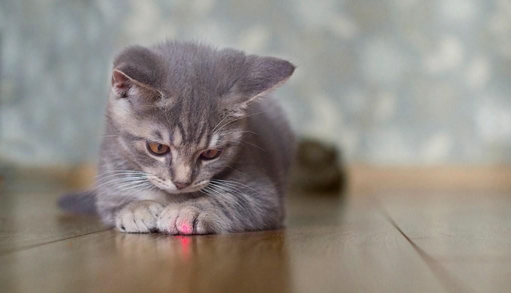 Por que os gatos perseguem os lasers?