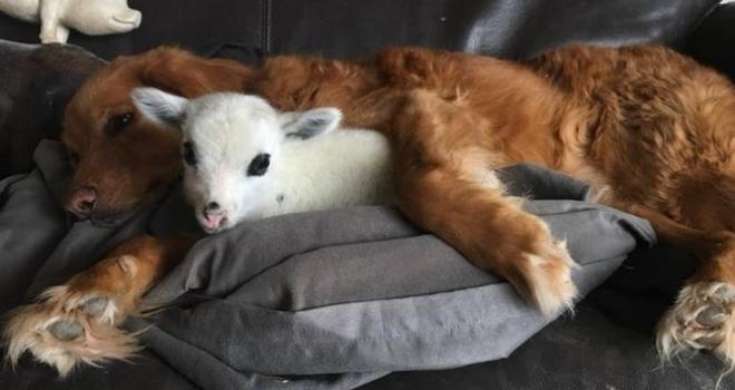Bezerro se torna amigo inseparável de cachorro após ser resgatado