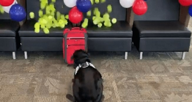 Cãozinho farejador ganha surpresa incrível antes de se aposentar