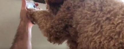 Com saudade, cadelinha tem reação fofa ao ver sua tutora em chamada de vídeo