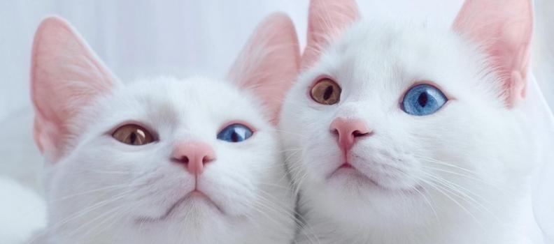 Por que alguns pets que têm olhos de cores diferentes?
