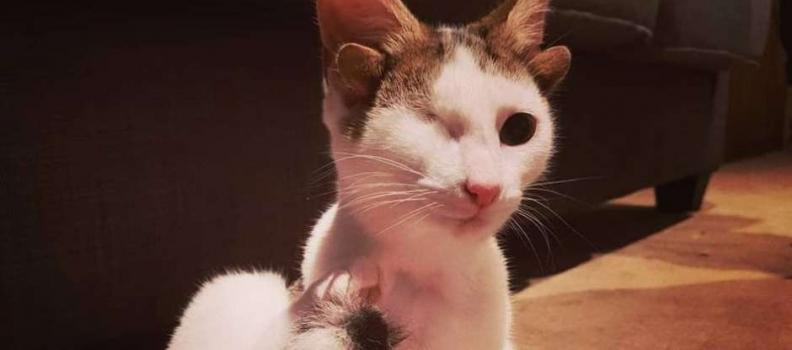 Conheça a história de Frank, o gato que nasceu com 4 orelhas