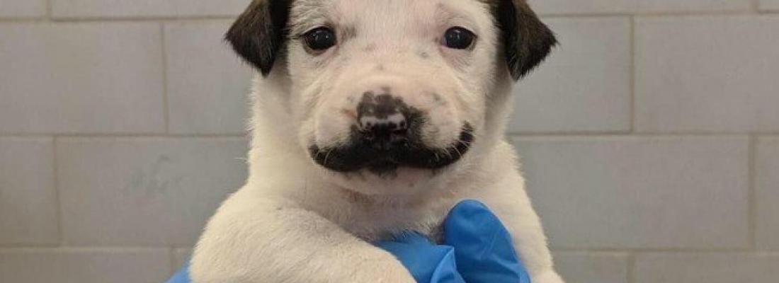 Filhote de cachorro com bigode de Salvador Dalí viraliza na internet