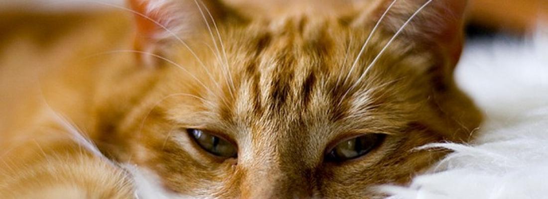 Insuficiência renal em gatos: uma doença comum e irreversível