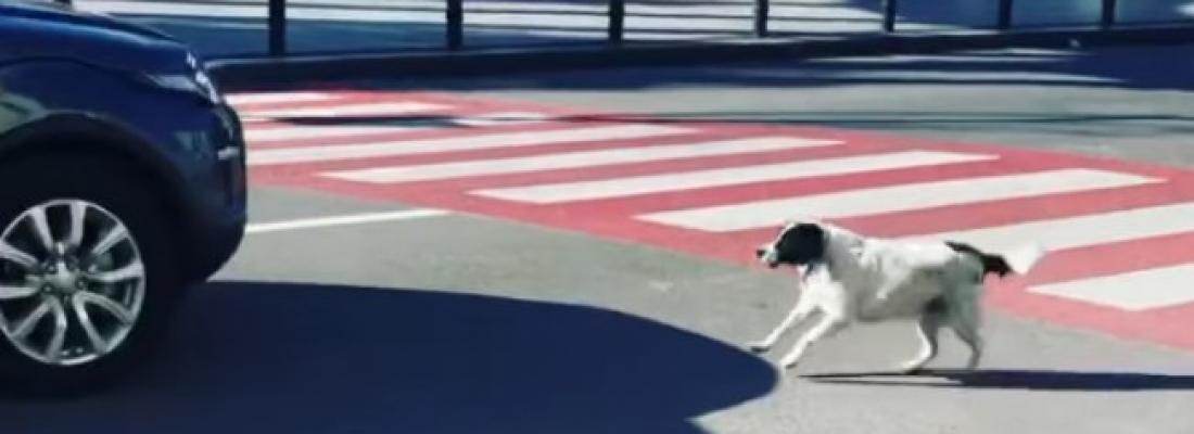 Cãozinho bloqueia trânsito para que crianças possam atravessar a rua em segurança