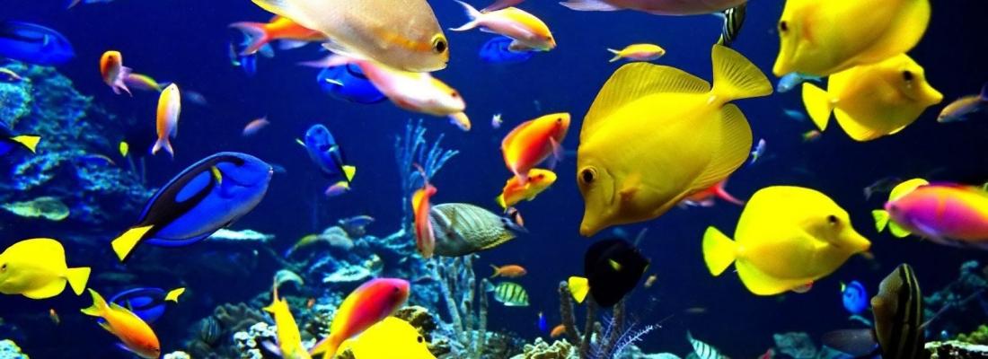 Por que alguns peixes têm cores, e outros não?