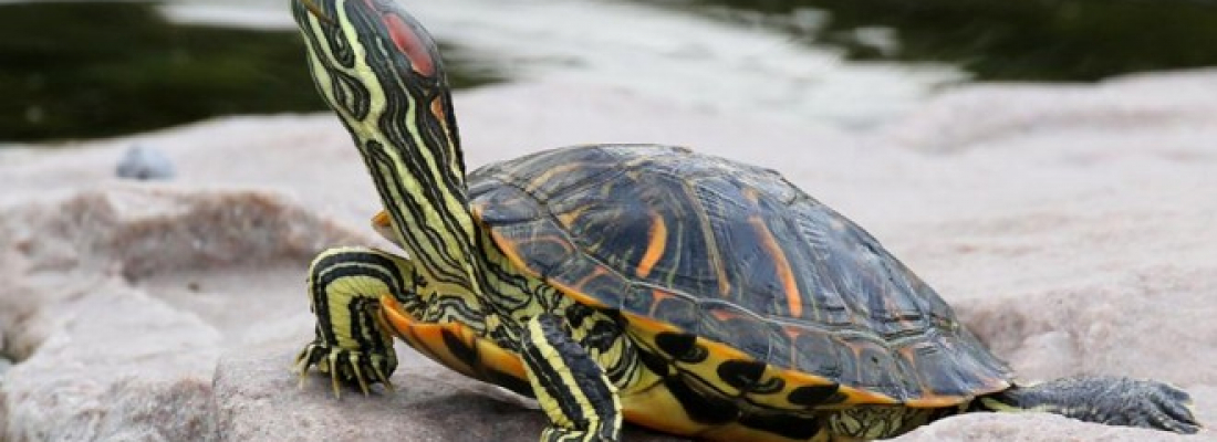 Dica: Escolhendo o aquaterrário para tartaruga tigre d'água