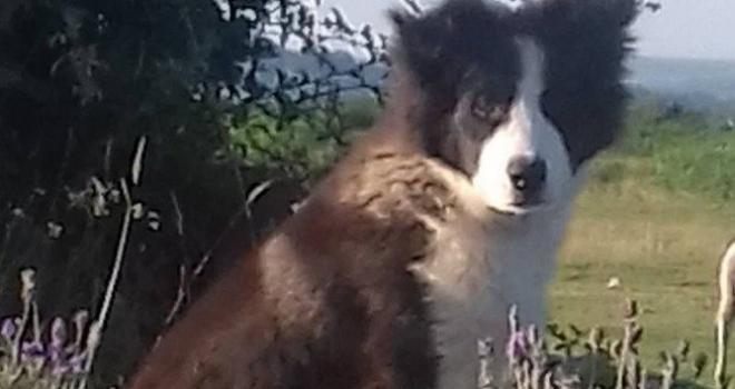 Cão pastor se confunde e leva rebanho de ovelhas para dentro da casa de tutores