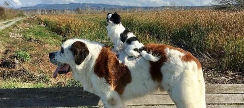 Cão 'gigante' carrega sua pequena irmã para todo lugar que vai