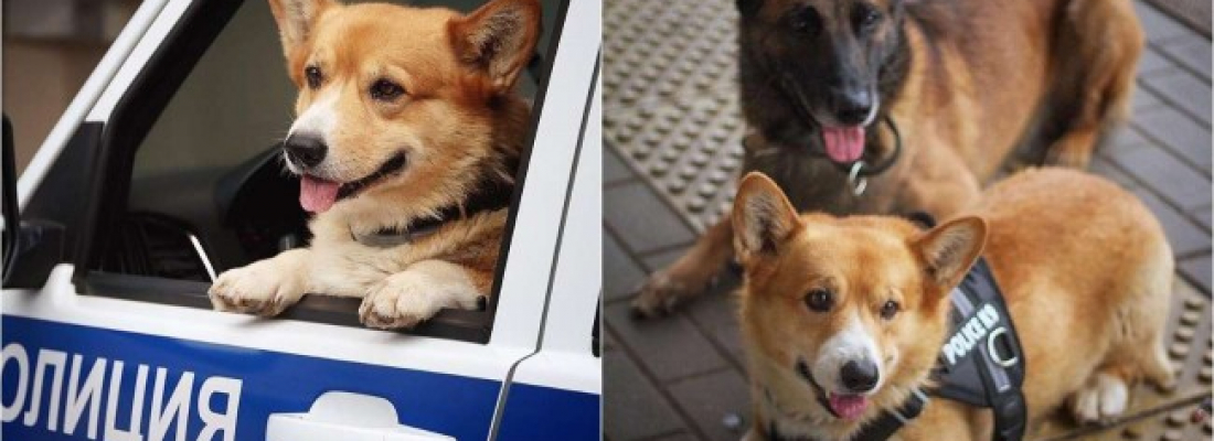 Peludinho se aposenta após atuar brilhantes 7 anos como cão policial