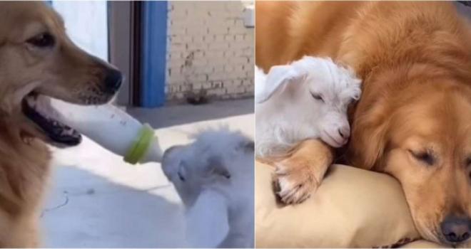 Cachorrinha acolhe e adota um Cabritinho