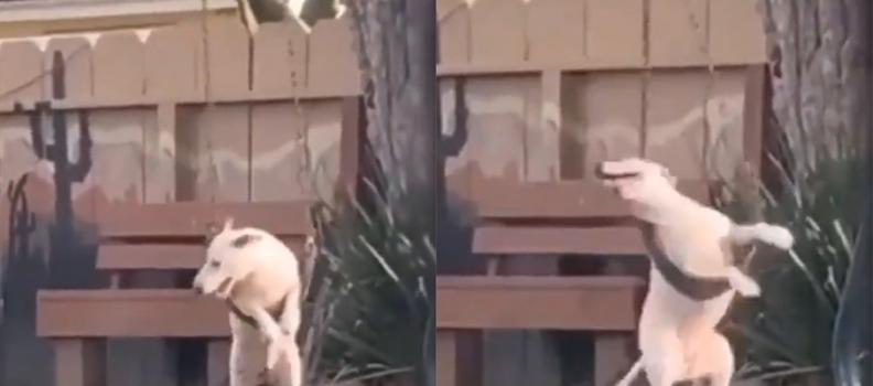 Fofura: Cachorro flagrado brincando no balanço do quintal é a coisa mais feliz que você verá hoje