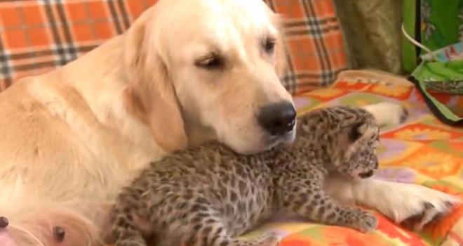 Cãozinho adota filhote de Leopardo; Confira