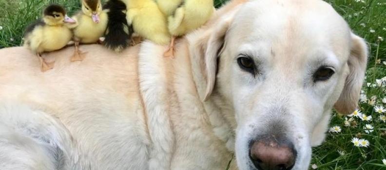 Labrador se torna pai de patinhos órfãos pela 2ª vez
