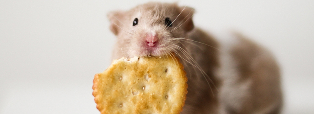 Hamster e sua alimentação