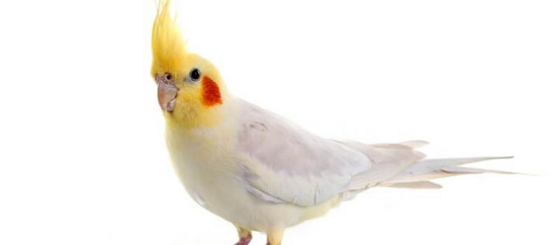 Calopsitas podem falar como papagaios?