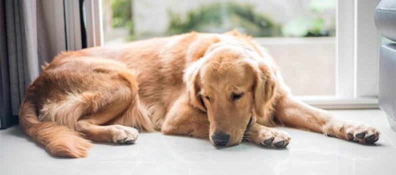 Cachorro também tem depressão