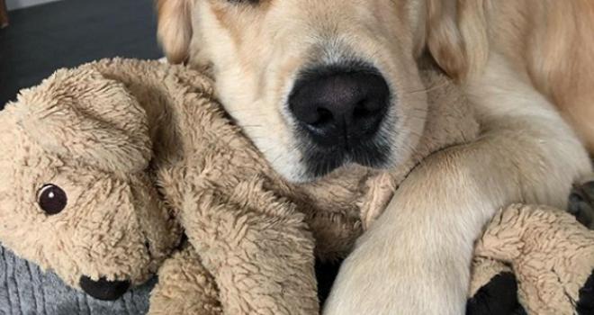 Após operação, cãozinho ganha versão pelúcia dele mesmo