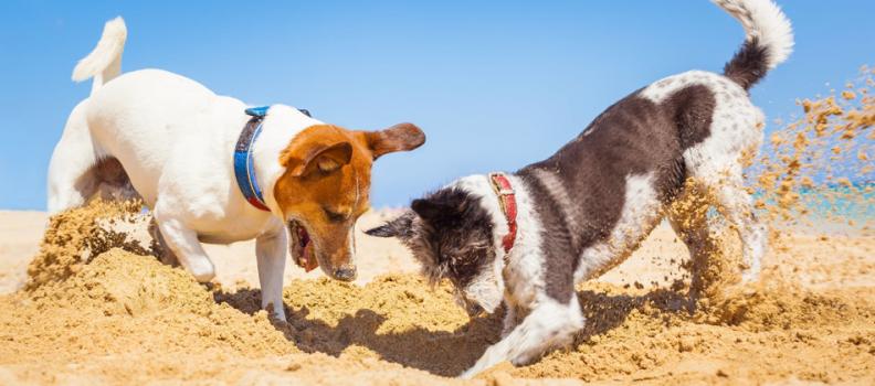 Comportamento canino: Por que cães cavam?