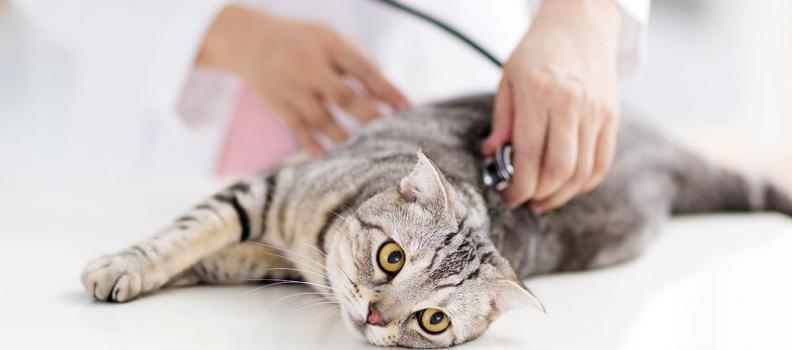 A importância do check-up para gatos