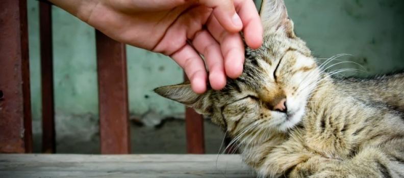 Por que os felinos ronronam?