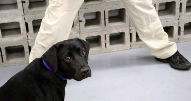 Lulu, a cachorrinha que foi 'demitida' da CIA por 'falta de vontade de trabalhar'