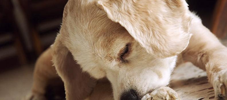Por que meu cãozinho se lambe, morde ou coça compulsivamente?