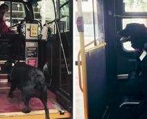 Cachorro anda sozinho de ônibus todos os dias para ir ao parque
