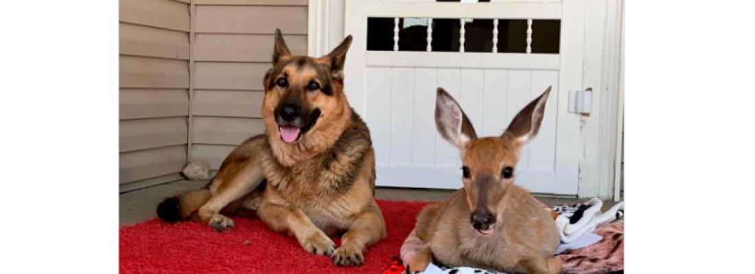 Fofura: Confira a amizade entre cãozinho e corças resgatadas