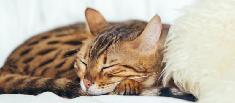 Os gatos sonham?