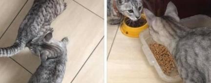 Tutora perde gato, encontra peludinho idêntico e acaba com 2 bichanos em casa