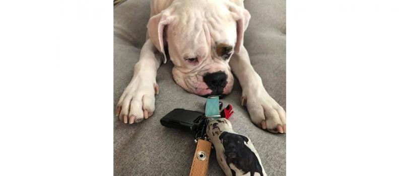 Cãozinho esconde chaves e celular da tutora para que ela não saia de casa
